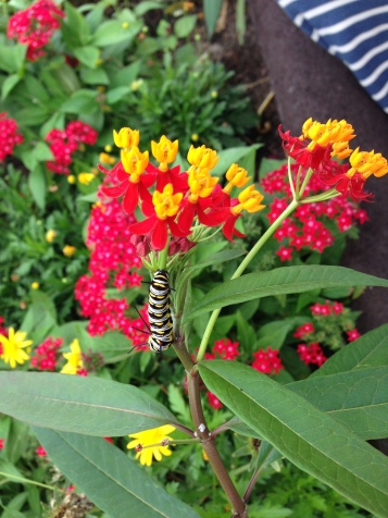 Beautiful caterpillar in the butterfly tent