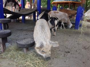 Piggies at the petting zoo!