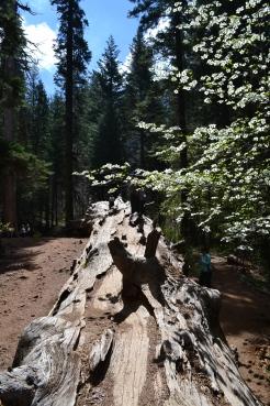 Yosemite11DSC_0713